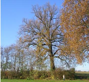 L'elenco degli alberi monumentali del Piemonte